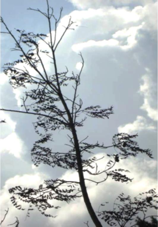 Canopy dieback