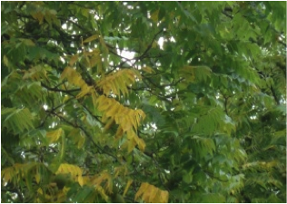 Flagging or yellowing of leaves